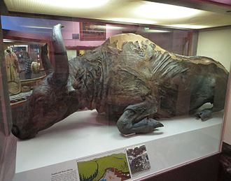 "Steppe bison - ""Blue Babe"", a mummified specimen from Alaska"