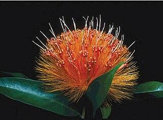 Stifftioideae Subfamily of plants