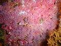 Strawberry anemones at Partridge Point P7190488.JPG