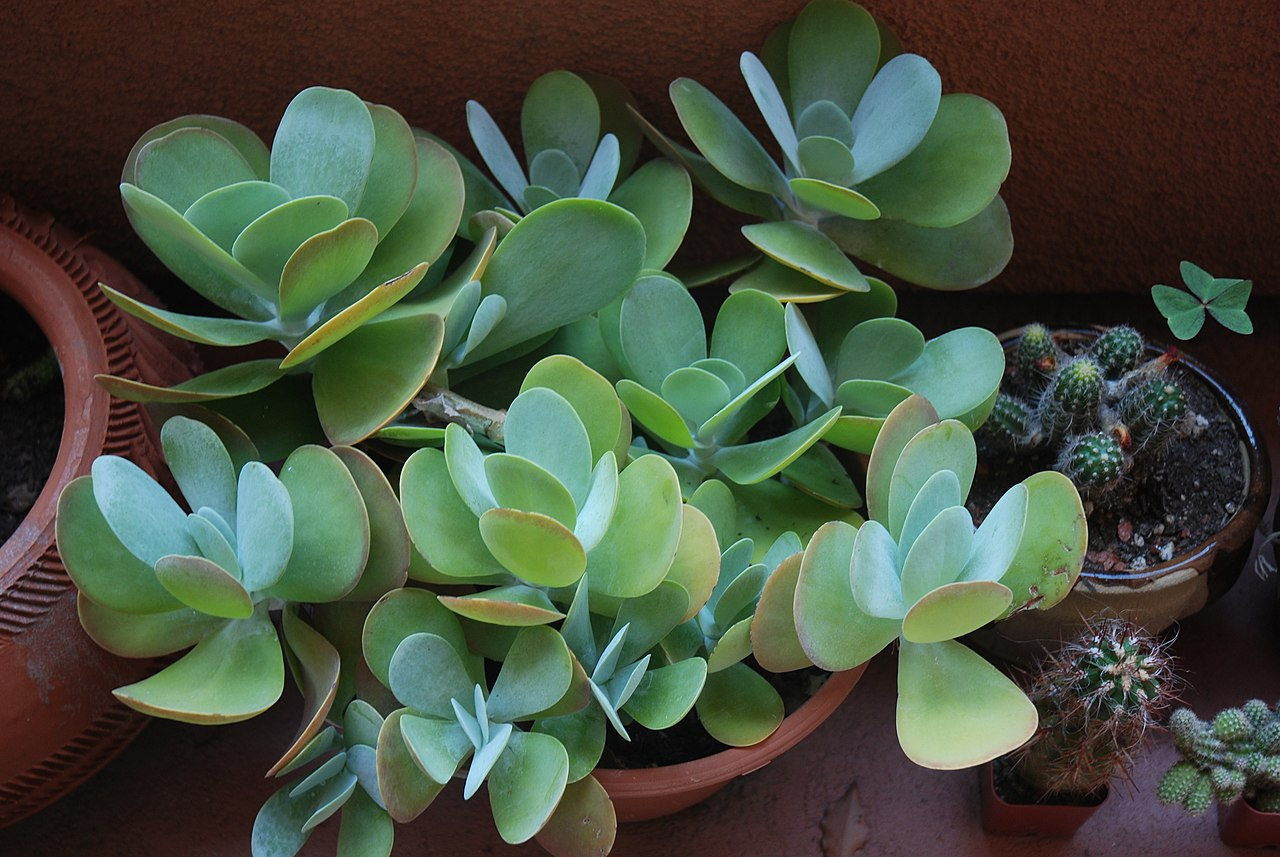 File succulent plant jpg wikimedia commons for Different types of succulent plants