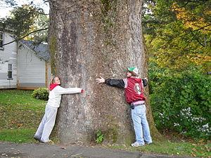 Buttonball Tree - Image: Sunderland Buttonball 04