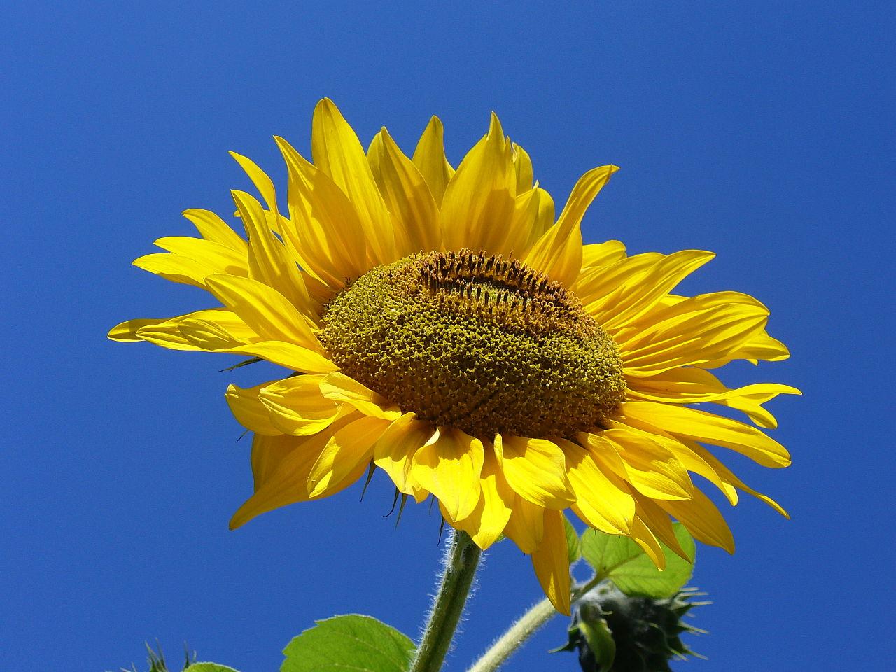 Sunflower. Photograph (c) Marcin Szala, used under CC BY-SA 3.0.
