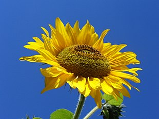 Sunflower from Silesia.JPG