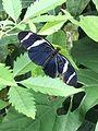 Surinaamsevlinder zwartwit.jpg