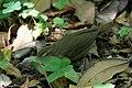 Swainson's Warbler Hooks Wood High Island TX 2018-04-11 09-59-16-2 (41809177141).jpg