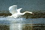 Swan - Lackford Lakes (26830815463).jpg