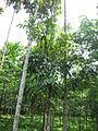 Swietenia macrophylla - മഹാഗണി 02.JPG