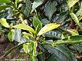 "Symbollic ""T"" from tea shrubs at BOH Sungei Palas Tea Plantation, Cameron Highlands.jpg"