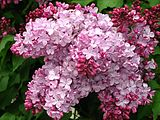 Syringa 'Esther Staley' 01.jpg