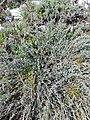 Syringa vulgaris, Oleaceae 03.jpg