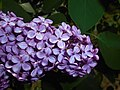 Syringa vulgaris Hugo de Vries 2016-05-20 0933.jpg