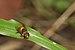 Syrphidae at Kadavoor.jpg