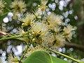 Syzygium hemisphericum flowers at Kottiyoor Wildlife Sanctuary (1).jpg