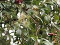 Syzygium jambos-IMG 8750.JPG