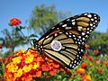 Tagged Monarch Butterfly - Flickr - treegrow (2).jpg