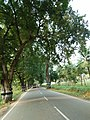 Tamarind trees along Gudiyattam road.jpg