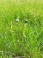 Tamier parasité 2.jpg