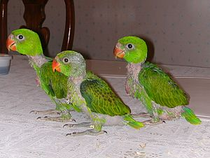 Blue-naped parrot - Image: Tanygnathus lucionensis three chicks 8a