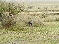 Tanzanie Natron, Messager sagittaire.jpg