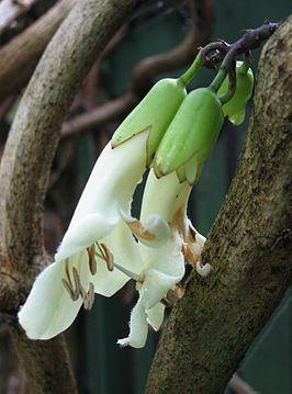 Tecomanthe speciosa