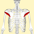 Teres minor muscle back2.png