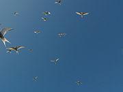 photographie montrant un groupe de sternes en vol vues de dessous; aucune organisation spécifique ne se remarque