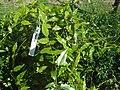 Tetrapathaea tetrandra2.jpg