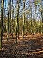 Texel - De Dennen - Beech forest - View NW.jpg