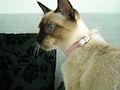 Thai cat (5).jpg