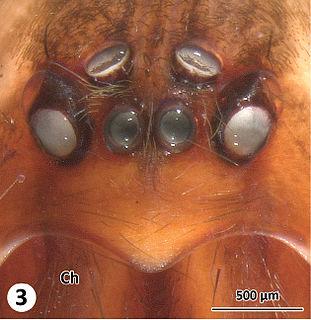 Austrochilidae family of arachnids