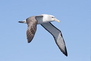 Shy albatross - Over pelagic waters off the southeast coast of Tasmania