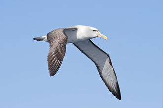 Shy albatross - Over pelagic waters off the southeast coast of Tasmania