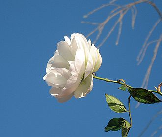 The White Rose of York remains as the prime symbol of Yorkshire identity TheSingleWhiteRose.jpg