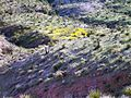 The Black Mountains, Mexican Gold Poppy Patches - panoramio.jpg