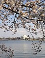 The Blossoms' View of the Jefferson Memorial.JPG