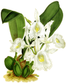The Orchid Album-01-0044-0014-Trichopilia suavis alba-crop.png