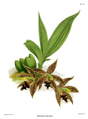The Orchid Album-01-0104-0034-Paphinia cristata.png