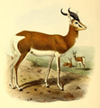 The book of antelopes (1894) Gazella mhorr.png