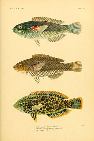 The fishes of Samoa (Plate XLV) (5998450429).jpg
