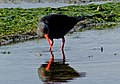 The variable oystercatcher. FZ200 (14507594221).jpg