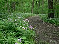 The wild geraniums lined the trail (2503375911).jpg