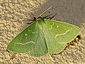 Thetidia smaragdaria 01.JPG