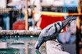 Thirsty Pigeon (Unsplash).jpg
