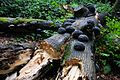 This broken Beech was attacked by lots of Fomes fomentarius (Tinder fungus or Ice man fungus, D= Zunderschwamm, F= Amadouvier, NL= Echte tonderzwam) that causes whiterot at Renkum - panoramio.jpg
