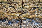 Three-year-old grafted vine in Lysekil.jpg