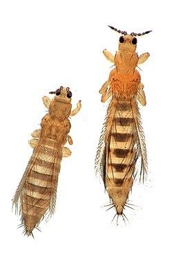 Tabakblasenfuß (links) und Frankliniella occidentalis