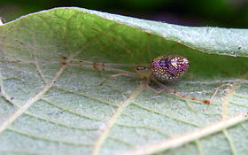 Thwaitesia Spider on White Beech leaf.jpg