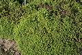 Thymus alpestris f. aurea in Botanical garden, Minsk 01.JPG