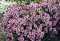 Thymus leucotrichus 1.jpg