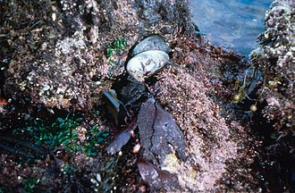 Haliotis cracherodii - Two black abalone shells in a tide pool at low tide
